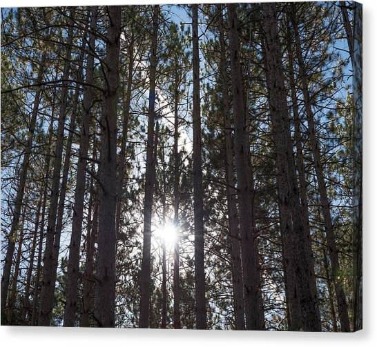 Towering Pines Canvas Print