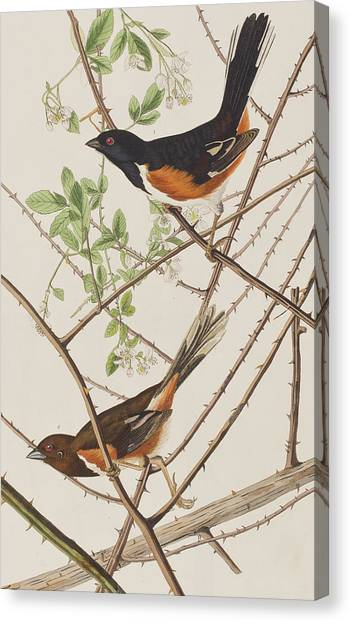 Buntings Canvas Print - Towhe Bunting by John James Audubon