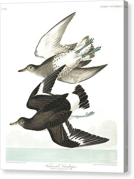 Sandpipers Canvas Print - Townsends Sandpiper by John James Audubon