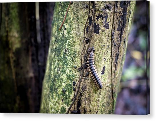 Millipedes Canvas Print - Tractor Millipede by David Morefield