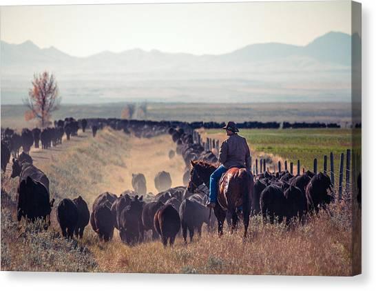 Angus Steer Canvas Print - Trailing The Herd by Todd Klassy
