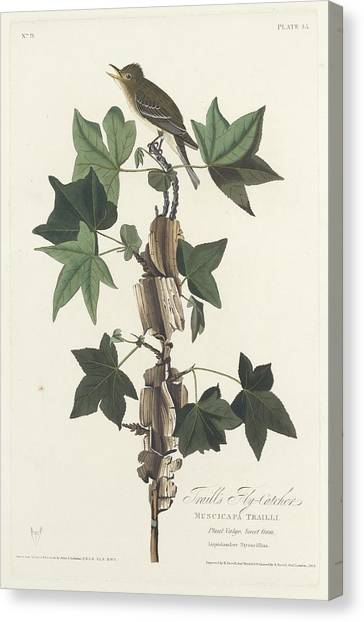 Flycatchers Canvas Print - Traill's Flycatcher by Dreyer Wildlife Print Collections