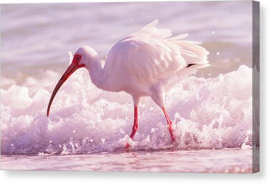 Ibis Canvas Print - Tranquil Beauty Cortez Beach by Betsy Knapp