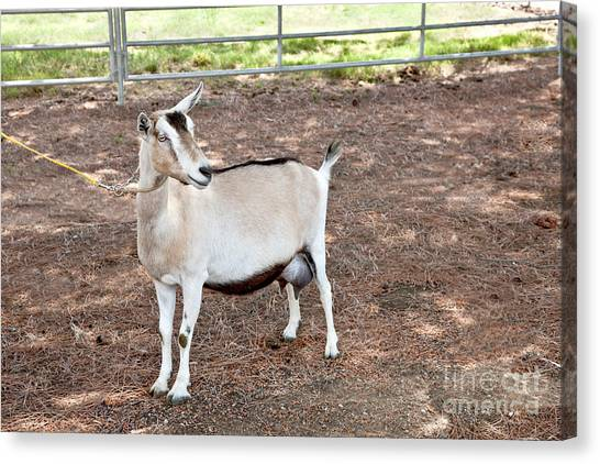 Big West Canvas Print - Transgenic Goat, Alpine Breed by Inga Spence