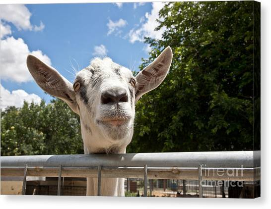 Big West Canvas Print - Transgenic Goat Peering Over Fence by Inga Spence
