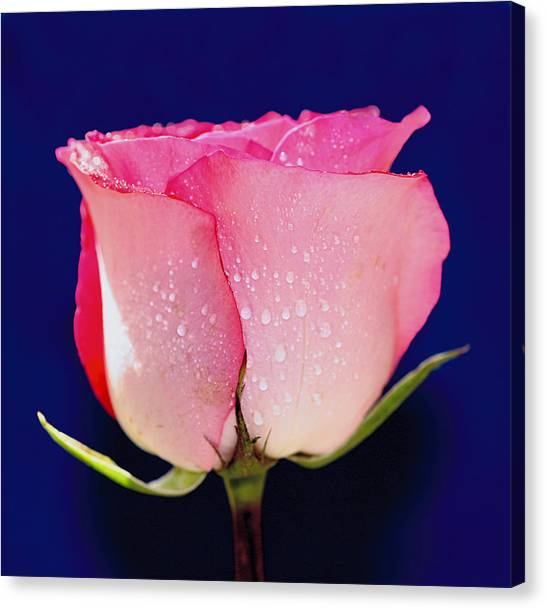 Translucent Rose Canvas Print