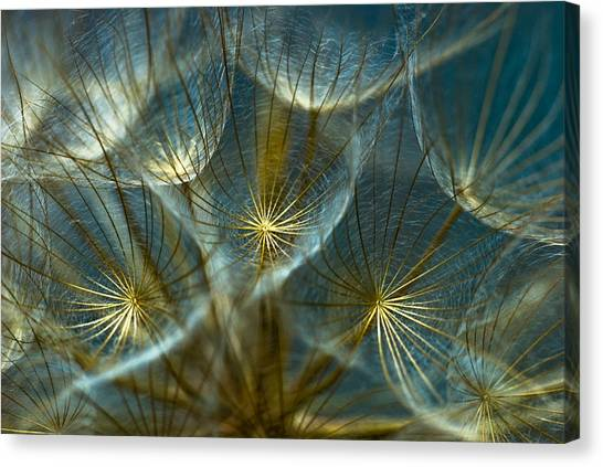 Rebirth Canvas Print - Translucid Dandelions by Iris Greenwell