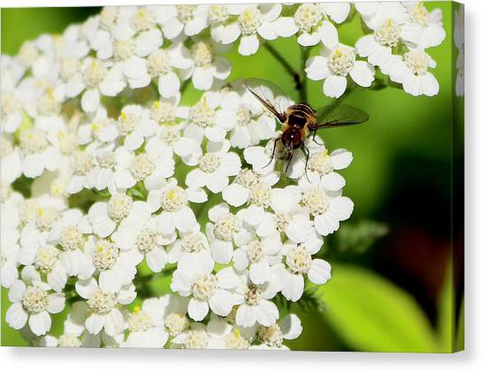 Transverse Flower Fly Canvas Print