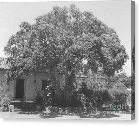 Tree At Carmel Mission Canvas Print