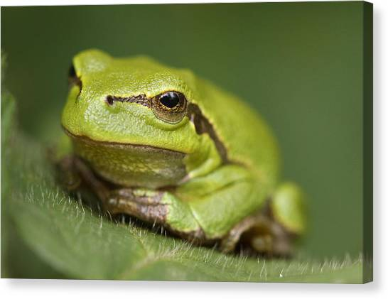 Blending Canvas Print - Tree Frog Cose Up by Roeselien Raimond