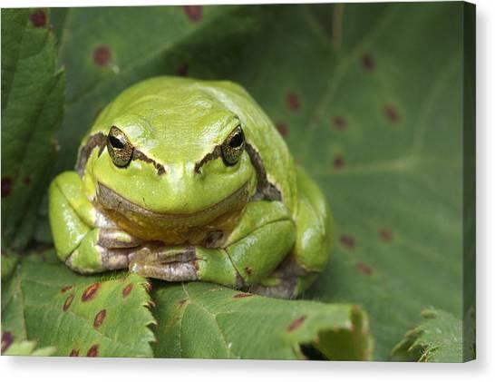 Blending Canvas Print - Tree Frog En Face by Roeselien Raimond