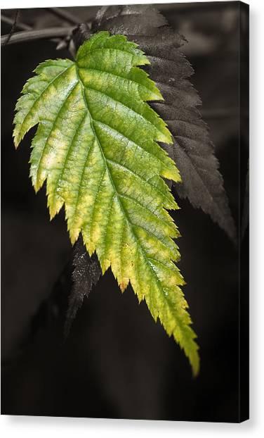 Tree Leaf Study  Canvas Print
