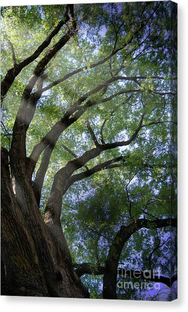 Tree Rays Canvas Print