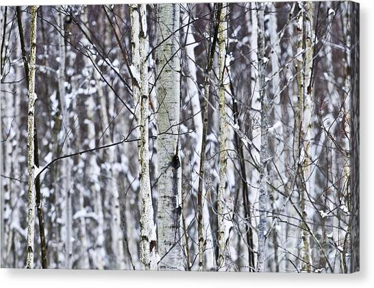 Winter Scenery Canvas Print - Tree Trunks Covered With Snow In Winter by Elena Elisseeva