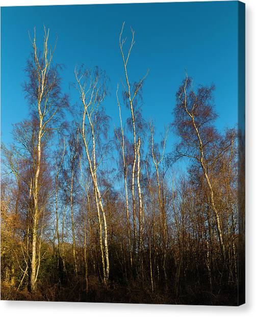 Trees And Blue Sky Canvas Print