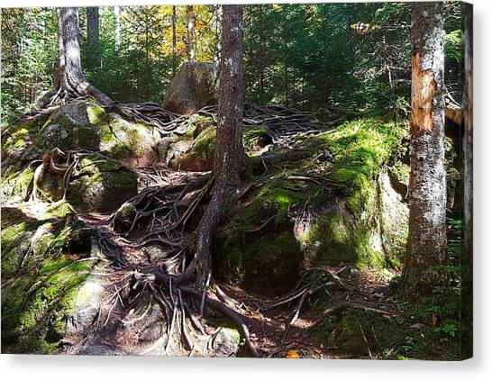 Trees - Mont Tremblant National Park Canvas Print