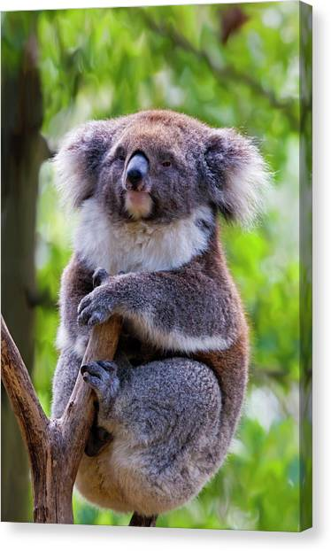 Koala Canvas Print - Treetop Koala by Mike  Dawson