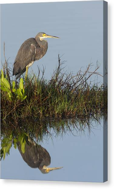 Tri-colored Heron And Reflection Canvas Print