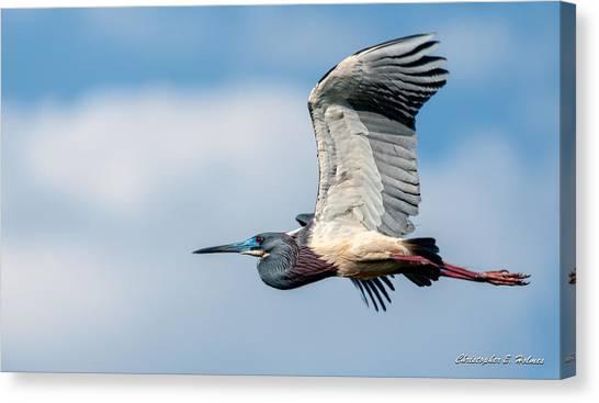 Tri-colored Heron In Flight Canvas Print