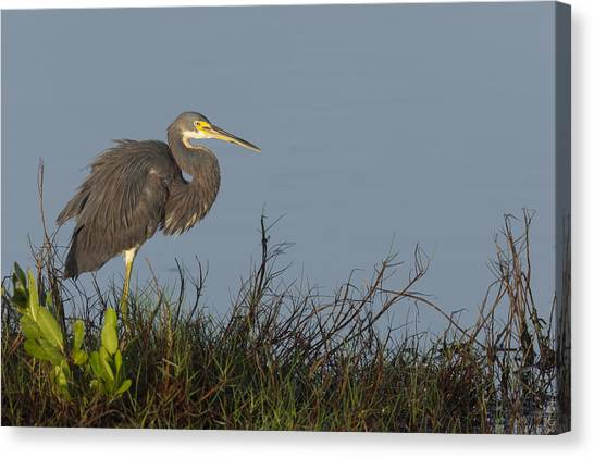 Tri-colored Heron In The Morning Light Canvas Print