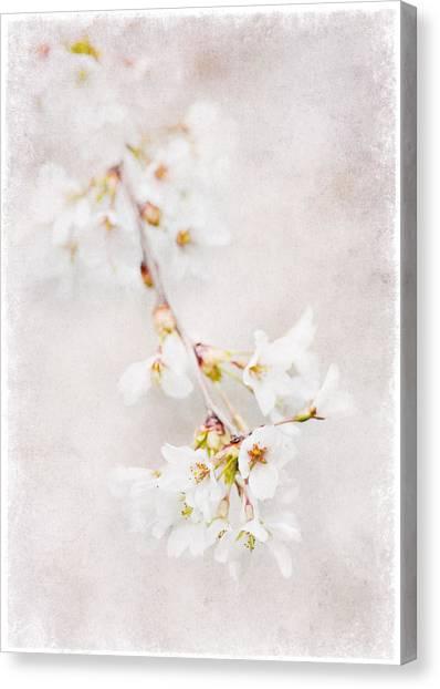 Triadelphia Cherry Blossoms Canvas Print