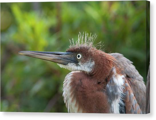 Tricolored Heron - Bad Hair Day Canvas Print