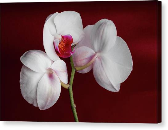 White Orchid Canvas Print - Trio Of Orchids by Tom Mc Nemar
