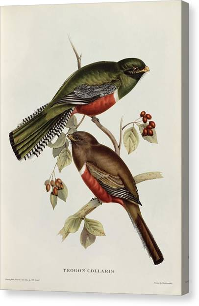 Lovebirds Canvas Print - Trogon Collaris by John Gould