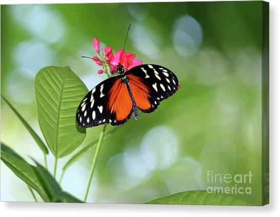 Tropical Hecale Butterfly Canvas Print