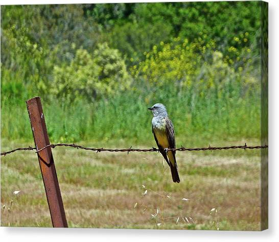Tropical Kingbird Canvas Print