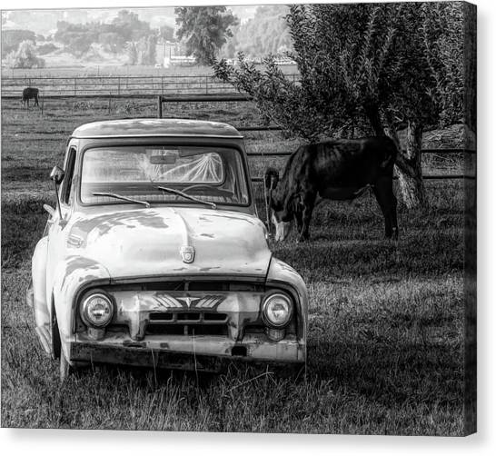 Truck And Cows Living Together Bw Canvas Print