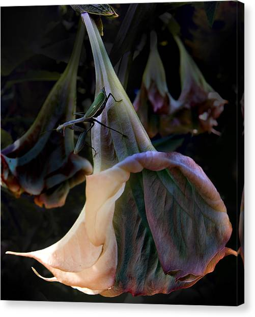 Trumpet Flower Canvas Print by Rob Outwater