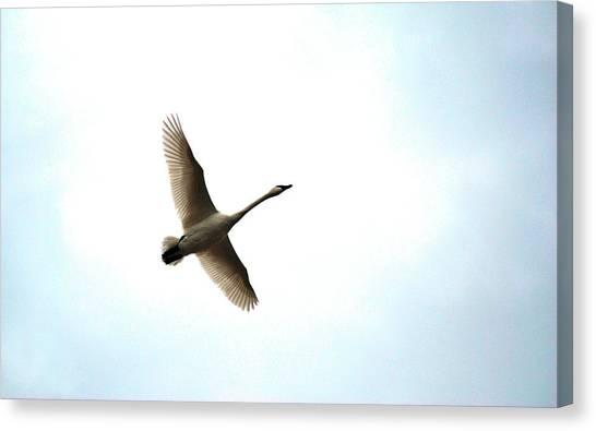 Trumpeter Swan In Flight Canvas Print