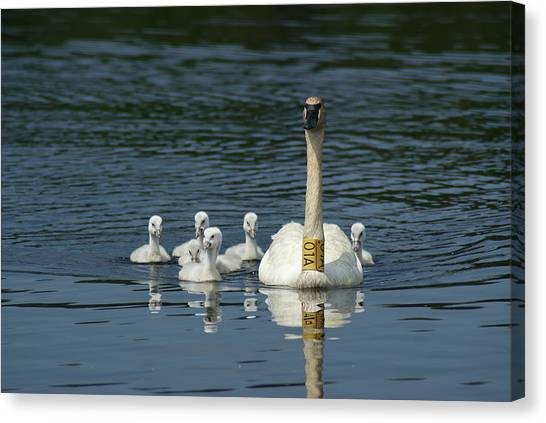 Trumpeter Swan With Cygnets Canvas Print by Ron Read