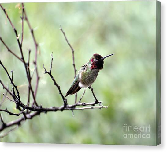 Trumpeting Hummingbird Canvas Print