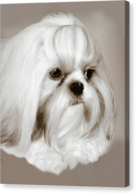 Shih Tzus Canvas Print - A Shih Tzu And His Trusting Eyes by Delores Knowles