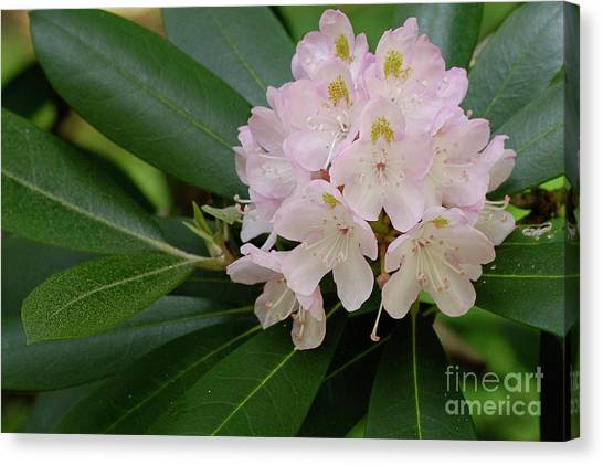 Tucker County Rhododendron Canvas Print