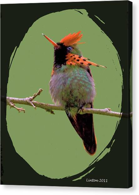 Tufted Coquette Hummingbird Canvas Print by Larry Linton