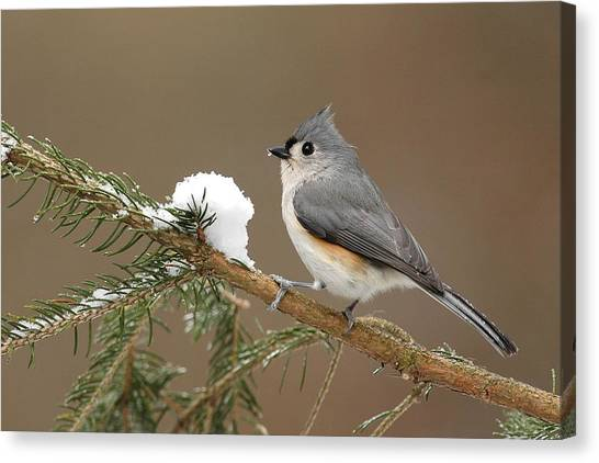 Titmice Canvas Print - Tufted Titmouse by Alan Lenk