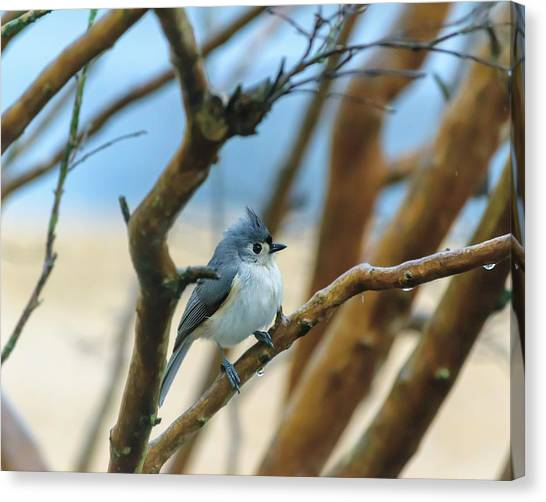 Tufted Titmouse In Tree Canvas Print