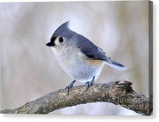 Titmouse Canvas Print - Tufted Titmouse On Dogwood 2 by Thomas R Fletcher