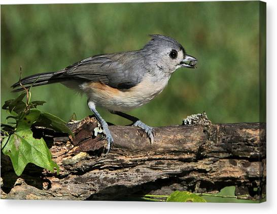 Tufted Titmouse On Tree Branch Canvas Print