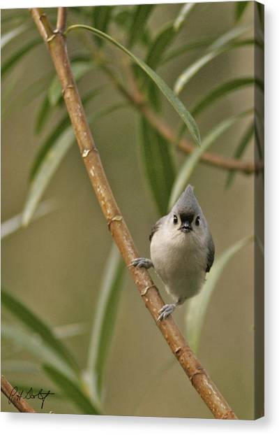 Titmice Canvas Print - Tufted Titmouse by Phill Doherty