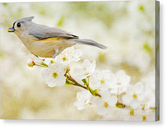 Titmouse Canvas Print - Tufted Titmouse With Seed by Laura D Young