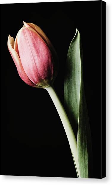 Tulip #171 Canvas Print