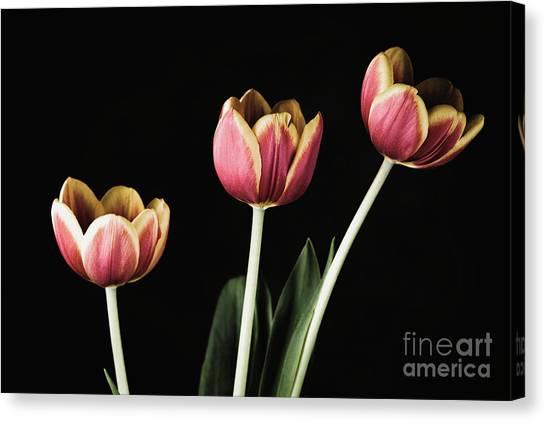 Tulip #176 Canvas Print