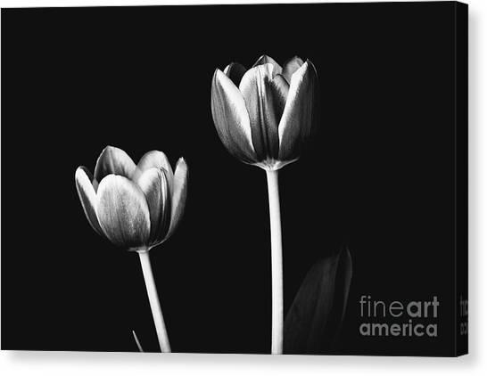 Tulip #177 Canvas Print