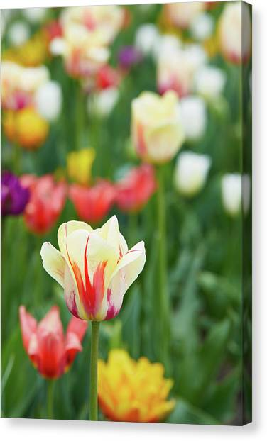 Tulip Bed Canvas Print