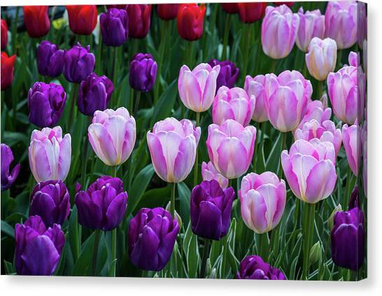 Tulip Blush Canvas Print