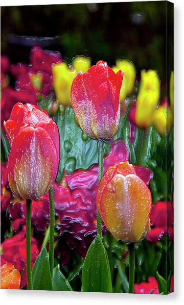 Tulip Candy Canvas Print
